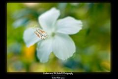 (MoH911) Tags: white flower macro green yellow 50mm bokeh f14 sony micro saudi arabia alpha kfupm  sal50f14 sal5014 a550 moh911 saihat  minoltacolors saihatphoto sonyalphaa550 saihatphotonet