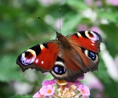Tagpfauenauge (♥ ♥ ♥ flickrsprotte♥ ♥ ♥) Tags: macro falter kiel schmetterling blüten botanischergarten tagpfauenauge ilovenatur flickrsprotte