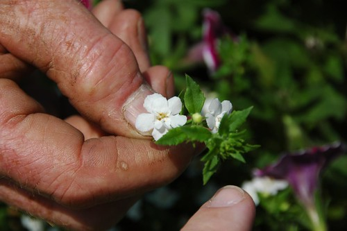 Stan Swisher holds Bacopa 'Double White'