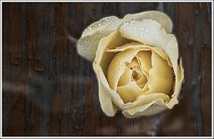 Rosa amarilla (miguelangelortega) Tags: flower texture rose garden rosa jardín yellos ltytr2 ltytr1 ltytr3 ltytr4 ltytr5 ltytr6 ltytr7