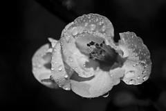 Razorblade (Joaquin Villaverde Photography) Tags: flowers blackandwhite bw flores flower macro art blancoynegro wet rain closeup droplets drops lluvia nikon arte flor bn gotas 1855 gotitas mojado marumi d3000
