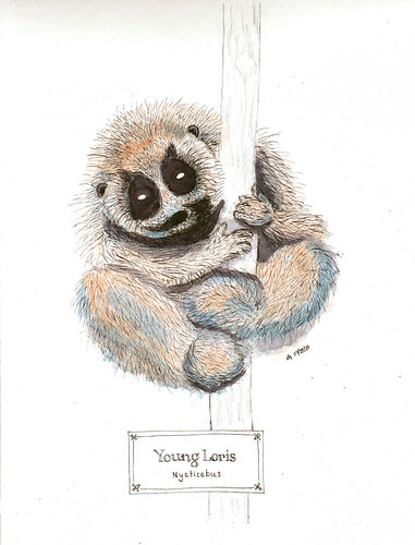 young slow loris