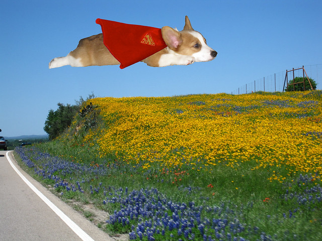 Texas Superhero Corgi!
