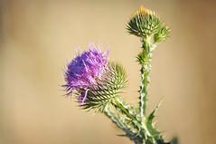Make Something (Jenn (ovaunda)) Tags: utah weed nikon 70300mm scotchthistle cedarcity d90 noxious explored onopordumacanthium nikonafnikkor70300mmf456g jennovaunda ovaunda