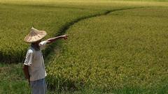 田寮洋的稻田。攝影:大暴龍。