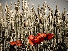Poppies! (Channed) Tags: bloemen flowers klaproos poppy poppies grain wheat tarwe graan bw red flickrchallengegroup flickrchallengewinner chantalnederstigt papaverrhoeas channedimages