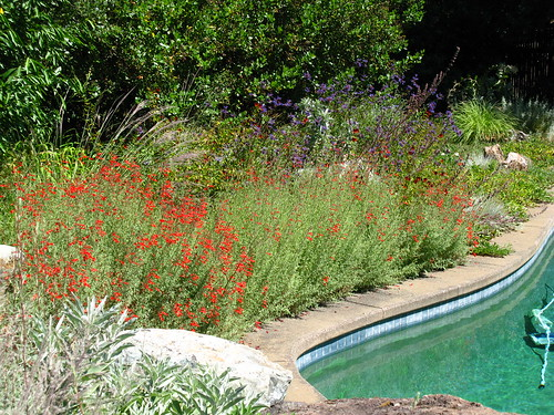 Epilobium canum, with pool