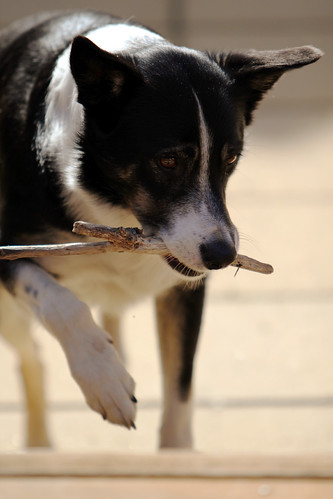 Misty our border collie carrying a stick.