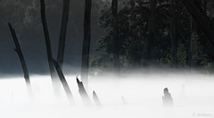Ghosts of the Mist (Greg Booher) Tags: trees summer usa mist fog canon river bristol shadows tennessee sullivan lightandshadow sillhouette stumps xsi holstonriver 55250 ghostsofthemist