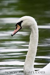 Cygnus olor / Kyhmyjoutsen (Mtj-Art - Thanks for over 1,5M views :)) Tags: summer bird nature birds suomi finland swan swans kes lintu joutsen laulujoutsen mtjart markuskauppinen joutsene valonkuvaaja valonkuvaajacom mtjartcom