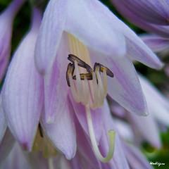 Hosta (monteregina) Tags: flowers canada macro closeup fleurs petals purple details blumen stamens qubec pollen agavaceae hosta mygarden monjardin ptales fillframe monteregina