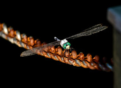Dragonfly (mjkjr) Tags: macro canon bug insect wings rust shadows dragonfly greeneyes fayettecounty peachtreecity ptc macrodragonfly canonlglass 550d t2i clubsi thindof rebelt2i ef1755mmisusm