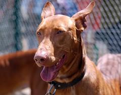 Podenco Canario (floodingvj) Tags: dogs perros podencoscanarios