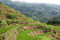 Les vertes rizières