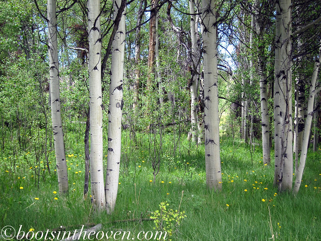 Pretty birch trees.