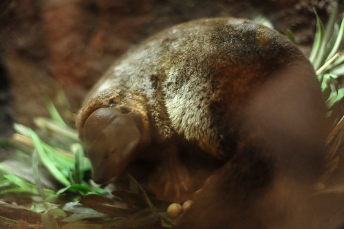 Platypus by maveric2003, on Flickr