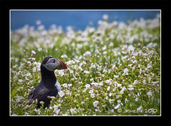 Skomer Puffin (JKmedia) Tags: uk flowers blue sea wild orange white black bird nature wales coast countryside spring wildlife beak thrift puffin 13 seabird thirds clifftop skomer canoneos40d 15challengeswinner jkmedia thepinnaclehof tphofweek57