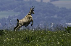 Chamois - Hiking on Jura - France (Lucie et Philippe) Tags: france vacances jura animaux randonnée chamois