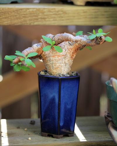 Euphorbia etrimensis