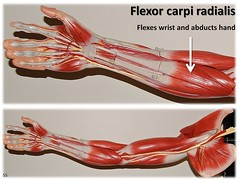 Flexor carpi radialis - Muscles of the Upper Extremity Visual Atlas, page 55 (Rob Swatski) Tags: york podcast college skeleton photo movement model education lab hand exercise arm body pennsylvania muscle muscular review creative commons system tendon medical upper organ study human massage anatomy laboratory learning atlas bone wrist guide practice therapy visual biology harrisburg skeletal abduction wiki carpi clinical physiology connective anterior kinesiology physicaltherapy hacc flexion flexor itunesu musculoskeletal radialis swatski robswatski biogeekiwiki biol121