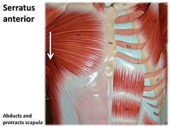 Serratus anterior - Muscles of the Upper Extremity Visual Atlas, page 37 (Rob Swatski) Tags: york podcast college skeleton photo movement model education lab exercise body pennsylvania muscle muscular review creative commons system tendon medical upper organ study human massage anatomy laboratory learning atlas bone guide practice therapy visual shoulder biology harrisburg skeletal abduction wiki thorax clinical physiology connective anterior kinesiology physicaltherapy scapula hacc serratus itunesu musculoskeletal swatski protraction robswatski biogeekiwiki biol121