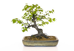 Silver Birch (Betula pendula) Bonsai Tree in Walsall Studios Ceramics Bonsai Pot (Steve Greaves) Tags: wood tree green art leaves ceramic grit japanese design miniature topiary little gardening cut terracotta small nursery chinese grow style hobby structure pot soil bark bonsai trunk species bud compost shape healing horticulture sprout potential potted cultivation lonelytree heal silverbirch livingsculpture cultivate repot ceramicpot betulapendula cultivar rootbase nebari akadama topdressing informalupright nikond300 treeinapot walsallstudios lacbalsam lensnikonafsnikkor50mmf14g