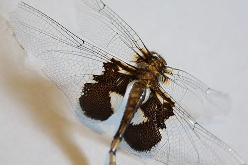Dragonfly molt
