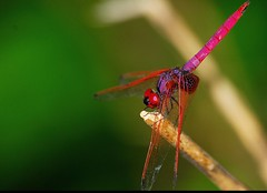CRIMSON MARSH GLIDER (Ajith ()) Tags: life pink colour macro green nature face crimson closeup leaf wings purple dragonfly tail wing aurora stump marsh glider odonata libelluidae crimsonmarshglider pinkdragonfly purpledragonfly purpletail thritemisaurora thrithemis crimsondragonfly