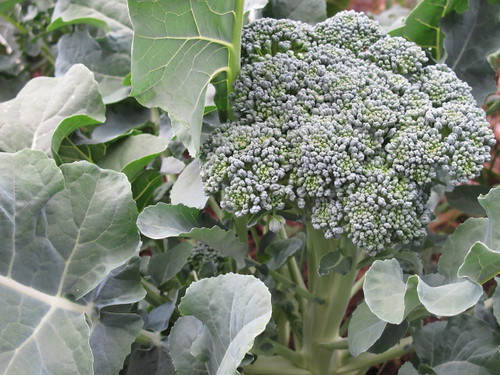 Broccoli growing