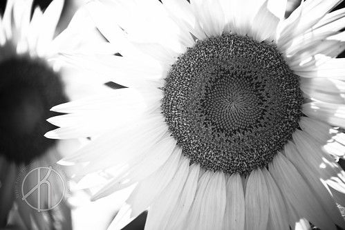 Sunflower by Justin Korn