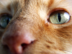 Wild (Jason A. Samfield) Tags: iris wild pet cats pets macro eye cat hair fur nose eyes feline tabby nostril felines supermacro pussycat slant pupil leeloo slanted hairs mypet nostrils tabbycat slantedpupil pupilslants