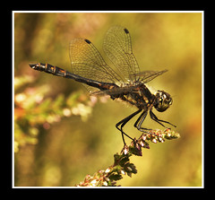 Black Darter Dragonfly (Stephen Duffy Images) Tags: canon surrey common omnibounce ef100mmf28macrousm chobham eos5d sigmaef530dgsuper ef25mmextensiontube