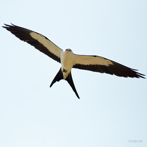 Swallow-Tailed Kite 10