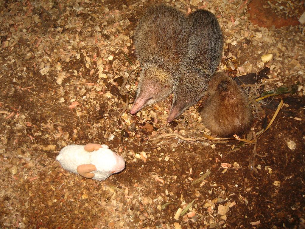 Common tenrec (Tenrec ecaudatus) (captive) - Exotic Reserve Peyrieras, Madagascar
