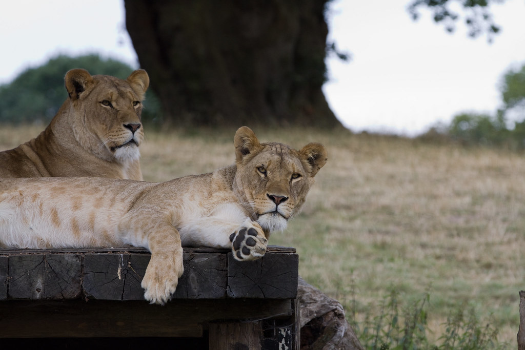 Lions Safari Photographic and Photography Workshop