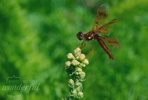 DragonflyBrown