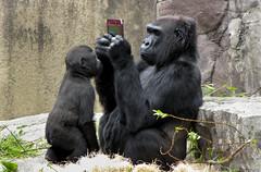 [フリー画像] 動物, 哺乳類, ヒト科, ゴリラ, 家族・親子(動物), ゲーム機, ニンテンドーDS, 201008091100