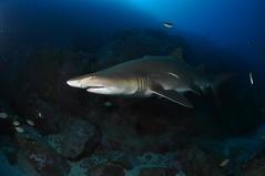 SWRAUG2010 175 (Custom) (AussieByron) Tags: fish rock southwestrocks swr gns greynurseshark tokina1017mm nikond90 aquaticahousing wwwsouthwestrocksdivecentrecomau