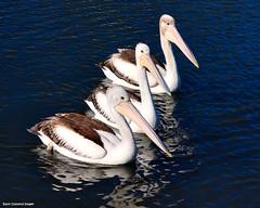 Pelecanus conspicillatus - Australian Pelican (Yamba, NSW) (Black Diamond Images) Tags: bird pelicans australia pelican nsw seabirds northcoast australianbirds yamba pelecanus australianpelican pelecanusconspicillatus pelicanidae blackdiamondimages