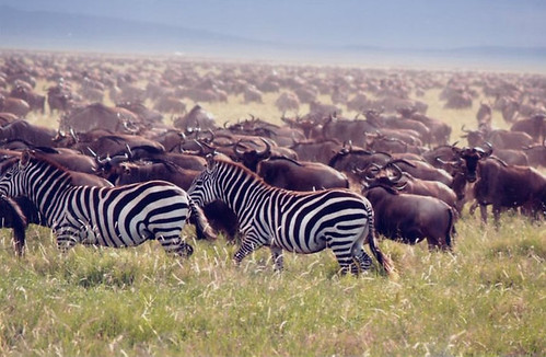 Great Migration - Zebra