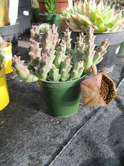 Orbea variegata (Stapelia) (wallygrom) Tags: cactus england cacti westsussex stapelia angmering orbea orbeavariegata cactuscollection stapeliavariegata manornursery manornurseries