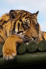 -2359 (jonathan hood www.glancingshots.london) Tags: tiger sumatrantiger lying siberiantiger tigerface tigerpictures tigerportraits playingtiger tigergrooming backtiger tigersleeping eyestigercloseup tigercleaningpaws