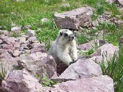 Marmot (joadc) Tags: