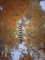 Banded krait (SnakeVikas) Tags: india nature reptile taxonomy:Order=squamata taxonomy:suborder=serpentes snakesofindia