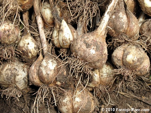 Garden Garlic 1