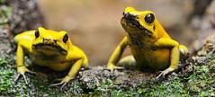 [フリー画像] 動物, 両生類, カエル, 201008140500
