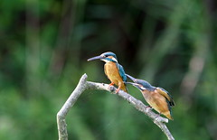 """Please, Pop. I'm hungry!"" (jcowboy) Tags: bird nature birds animal animals japan asia wildlife kingfisher aichi 2010 obu kingfishers  avianexcellence june2010 hoshinaike"