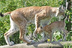 Eurasian Lynx & Young (Truus & Zoo) Tags: netherlands animals zoo los kerkrade dierentuin gaiapark lynxlynx euraziatischelynx leastconcern flickrbigcats eurasianlynxes