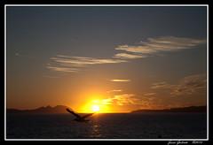 Gaviota al atardecer. (Jess Galindo) Tags: sol de atardecer galicia puesta gaviota islas ria vigo atlantico cies samil