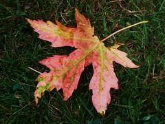P1080838 (Trevdog67) Tags: autumn red canada fall leaf maple august newbrunswick moncton 2009 reddragonfly changeofseason signsoffall reddragonflydigitalmediaconsulting trevorgertridge